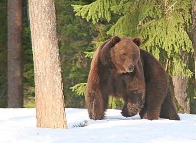 Yachtcharter Finnland: In den Wäldern leben wieder Braunbären