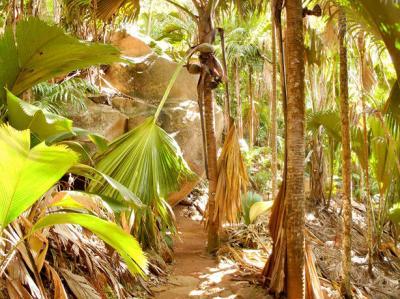 Bootscharter Praslin: Der Wald aus Coco de Mer Palmen ist weltberühmt