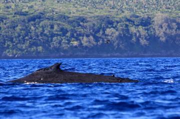 Bootscharter Tonga: Von Juli bis November paaren sich die Buckelwale in den Gew?ssern Tongas